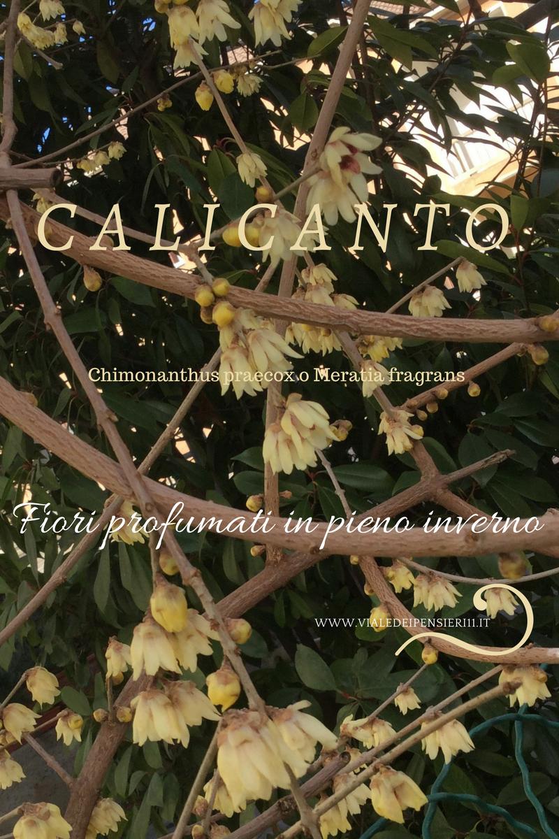 Calicanto Fiore D Inverno calicanto d'inverno fioritura invernale dal profumo intenso