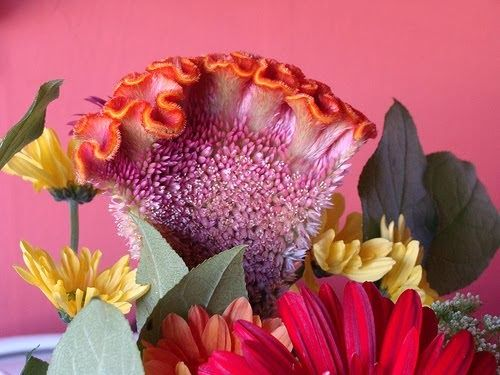 Beautiful Flowers Celosia Flowers Pictures Meanings Celosias