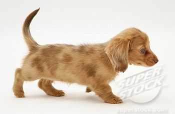 Cream Dapple Miniature Long Haired Dachshund Pup Walking Long