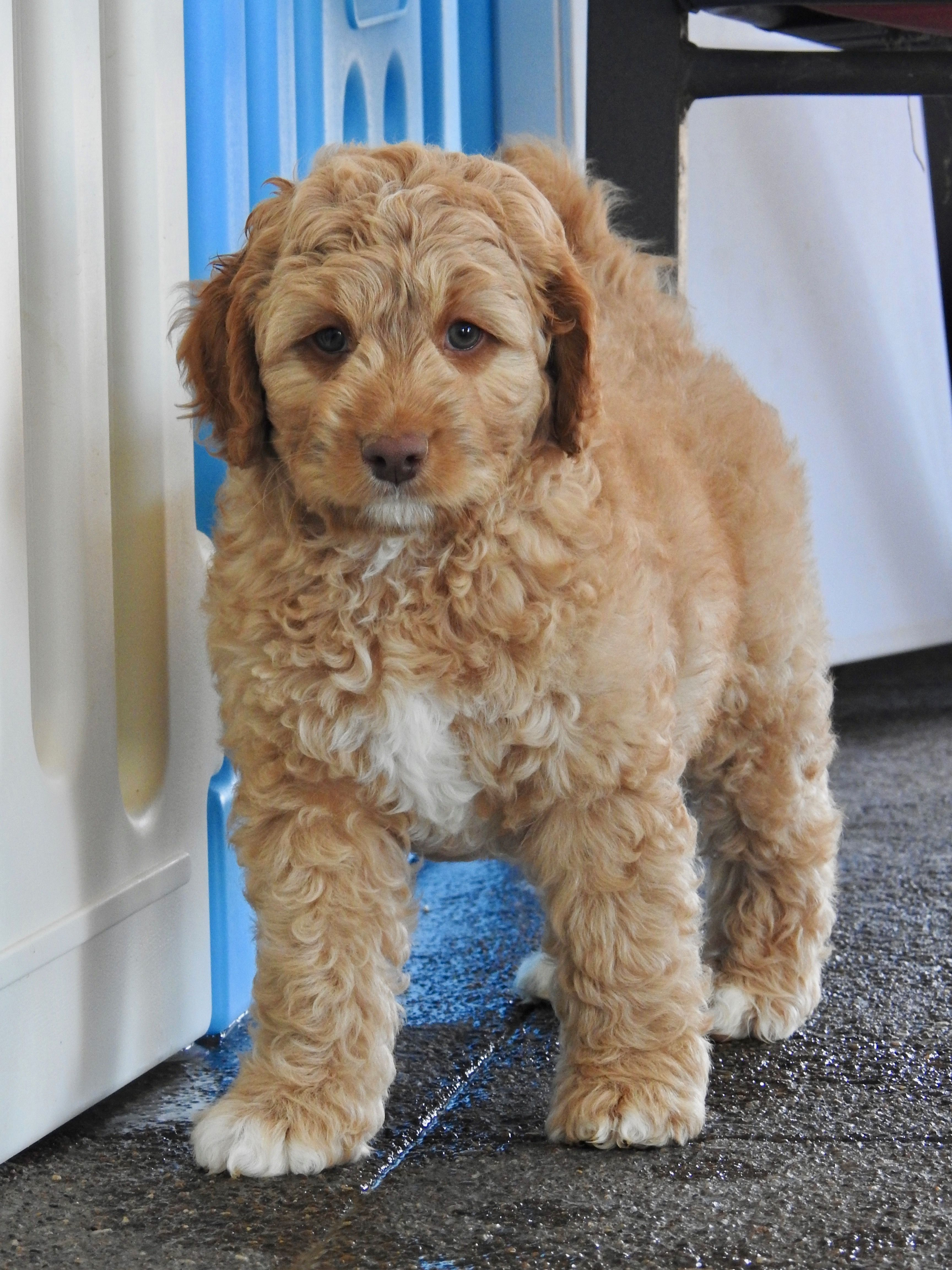 Caramel And White Australian Labradoodle Puppy Labradoodle