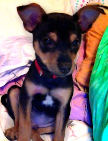 My Doggy Bruno A Chorkie He Is A Chihuahua And Yorkie Mix Puppy Breath Yorkie Yorkie Mix