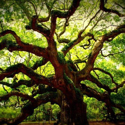 """1500 yrs Old Oak Tree. This is my favorite type of tree and this is the kind I picture in my mind when I say """"knock on wood."""""""