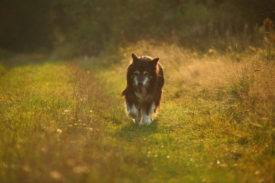 The Best Stirling Collies For Your Family Akc Collies Stirling