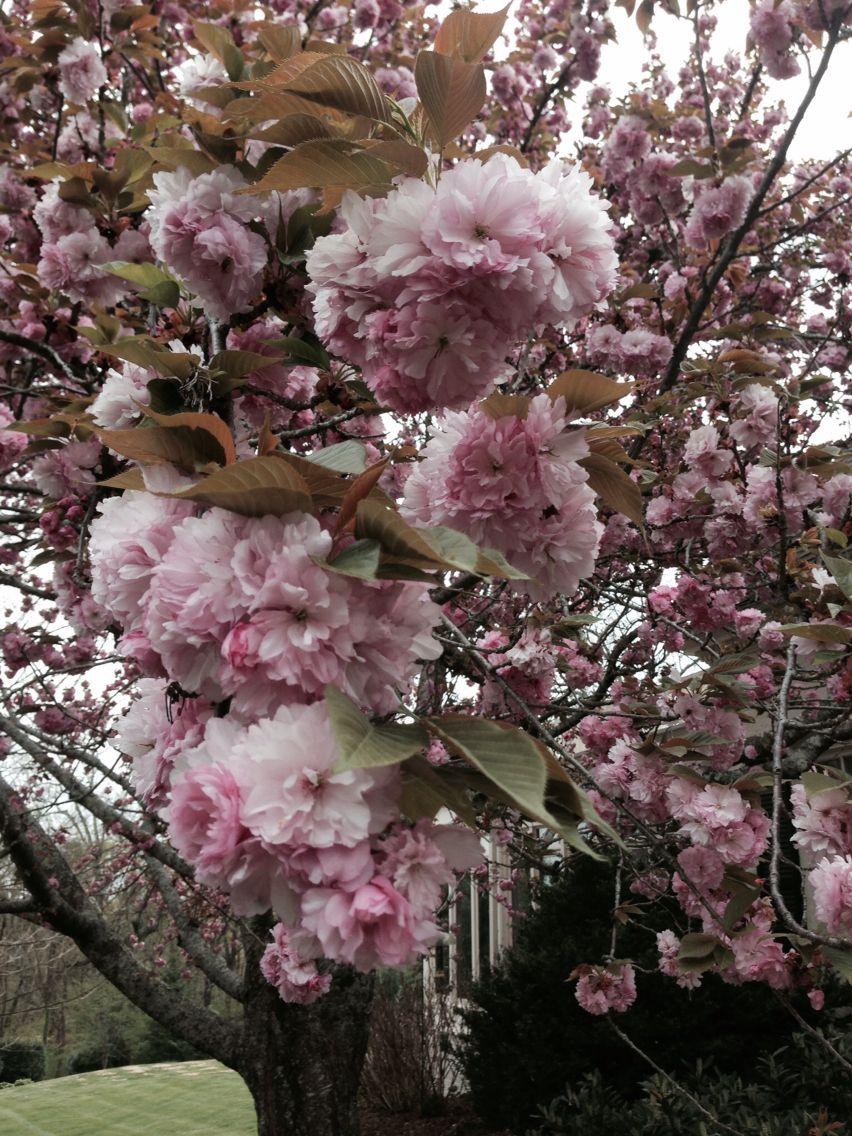 Kwanza Cherry Tree She Is 55 Yrs Young Cherry Tree Plants Floral Wreath