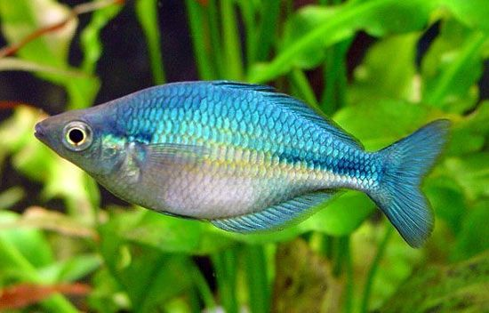 Blue Rainbow Fish Blue Rainbow Fish Ryba