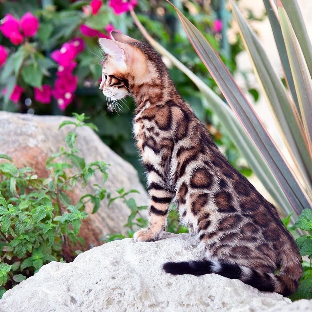 Bengal Cats On Instagram By Leap Of Faith Bengals