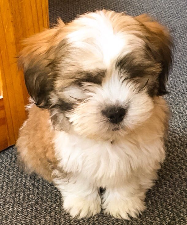 Milo Aged 12 Weeks Age 12 Animals Dogs