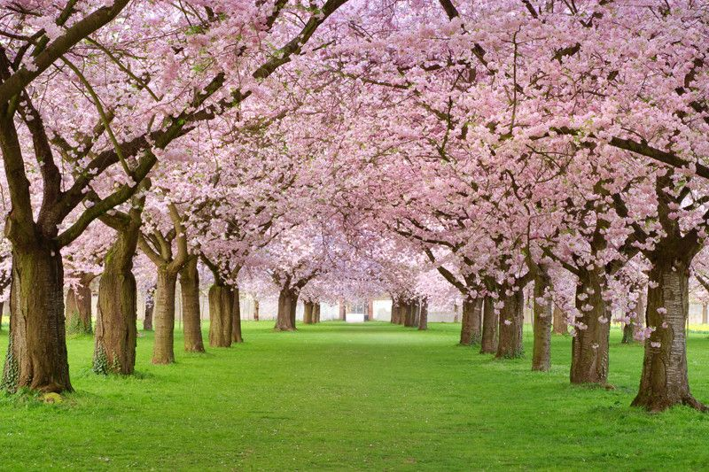 Rows Of Beautifully Blossoming Cherry Trees Wall Mural Blossom Trees Cherry Blossom Tree Spring Wallpaper