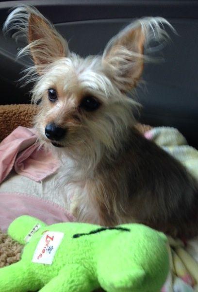 Adopt Paris On Yorkshire Terrier Terrier Toy Yorkshire Terrier