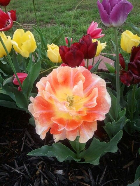 My Beautiful Tulips this year!