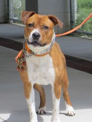 Miss Maple is an adoptable Boxer Dog in Stratford, CT. Hi, my name's Miss Maple! �Aren't I gorgeous? �I'm full of energy and like to play with toys. �I am good with other dogs. �The nice volunteers he...