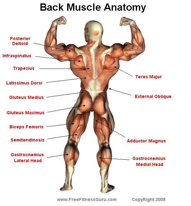 Back Muscle Anatomy | Sports | Pinterest | Anatomía, Culturismo y ...