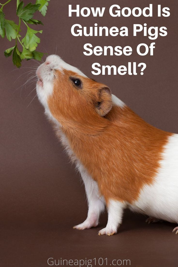 Pin On Guinea Pigs Care