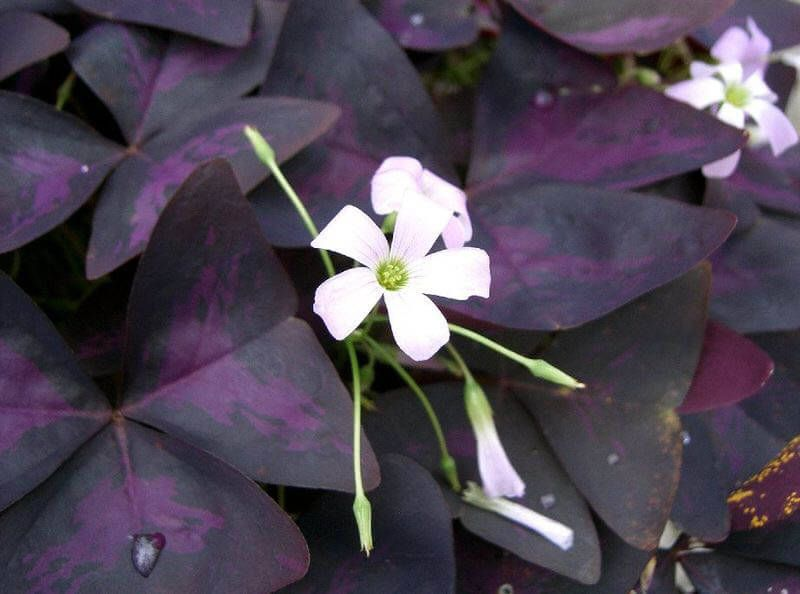 oxalis purple shamrock love plant our house plants - Flowering House Plants Purple