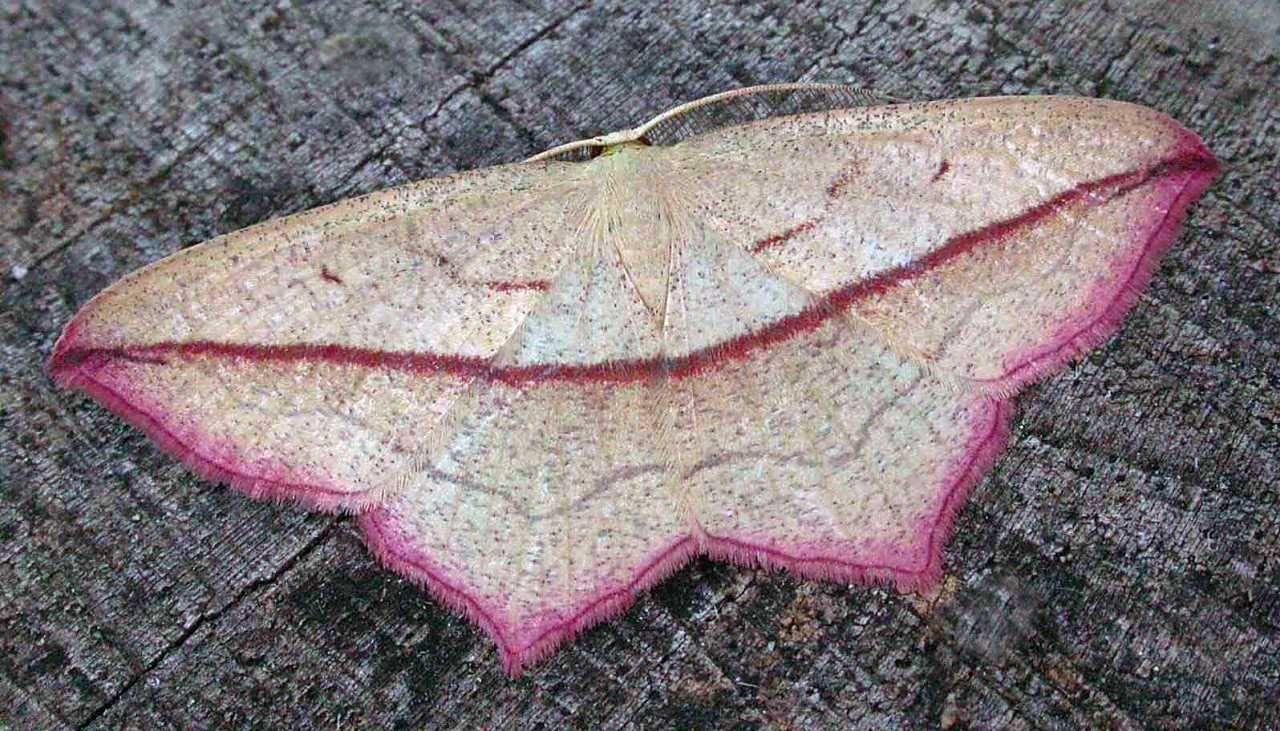 Pin On Butterflies 8 Pink