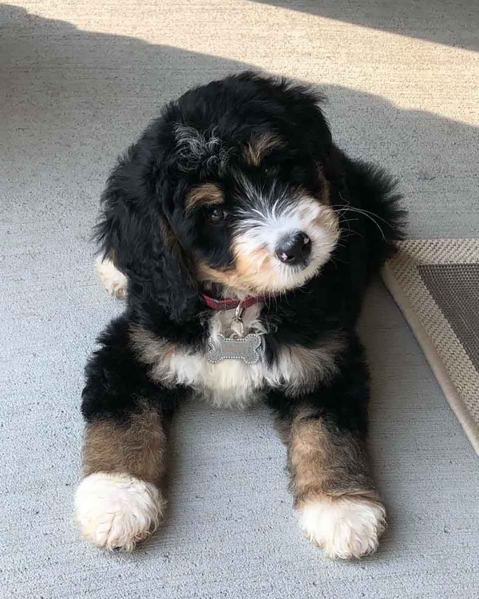 This Is One Of Our Tri Color Mini Bernedoodle Puppies