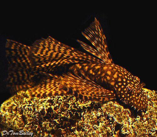 Premium Chocolate Longfin Bushymouth Pleco Over 6 Long Aquarium Fish Pet Fish Cool Fish