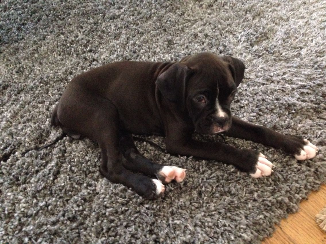 Pug Puppies For Sale Fort Wayne Indiana Ideas