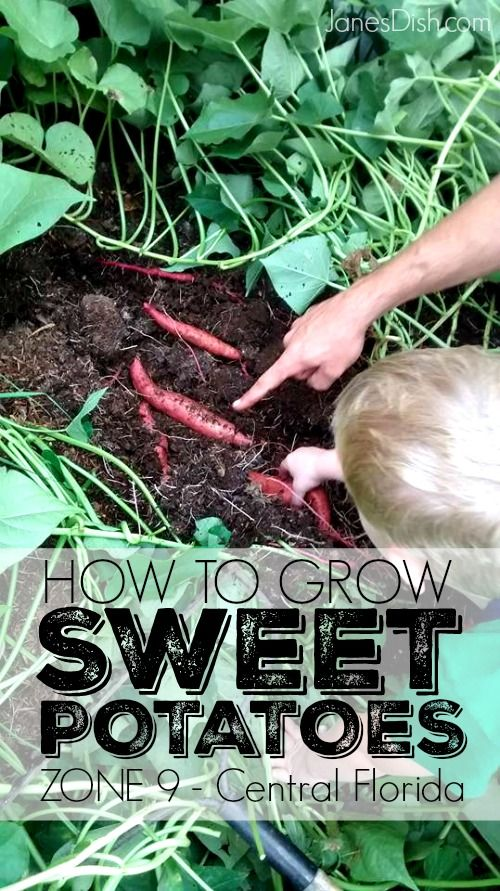 How To Grow Sweet Potatoes Central Florida Zone 9 Growing