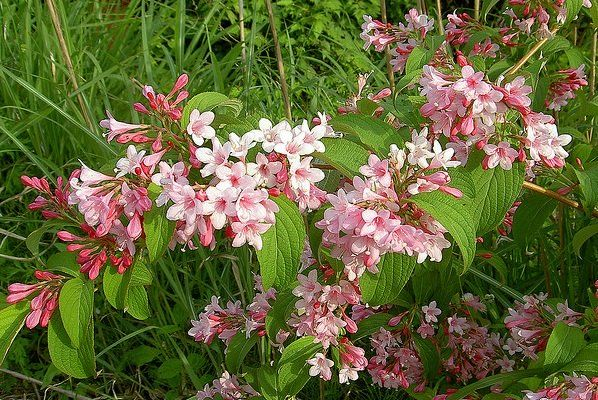 Weigela florida flora pinterest flowering shrubs shrub and plants weigela florida is a summer flowering shrubs that makes a hardy and easy to maintain shrubs for gardens and landscapes because of its lovely foliage and mightylinksfo Image collections
