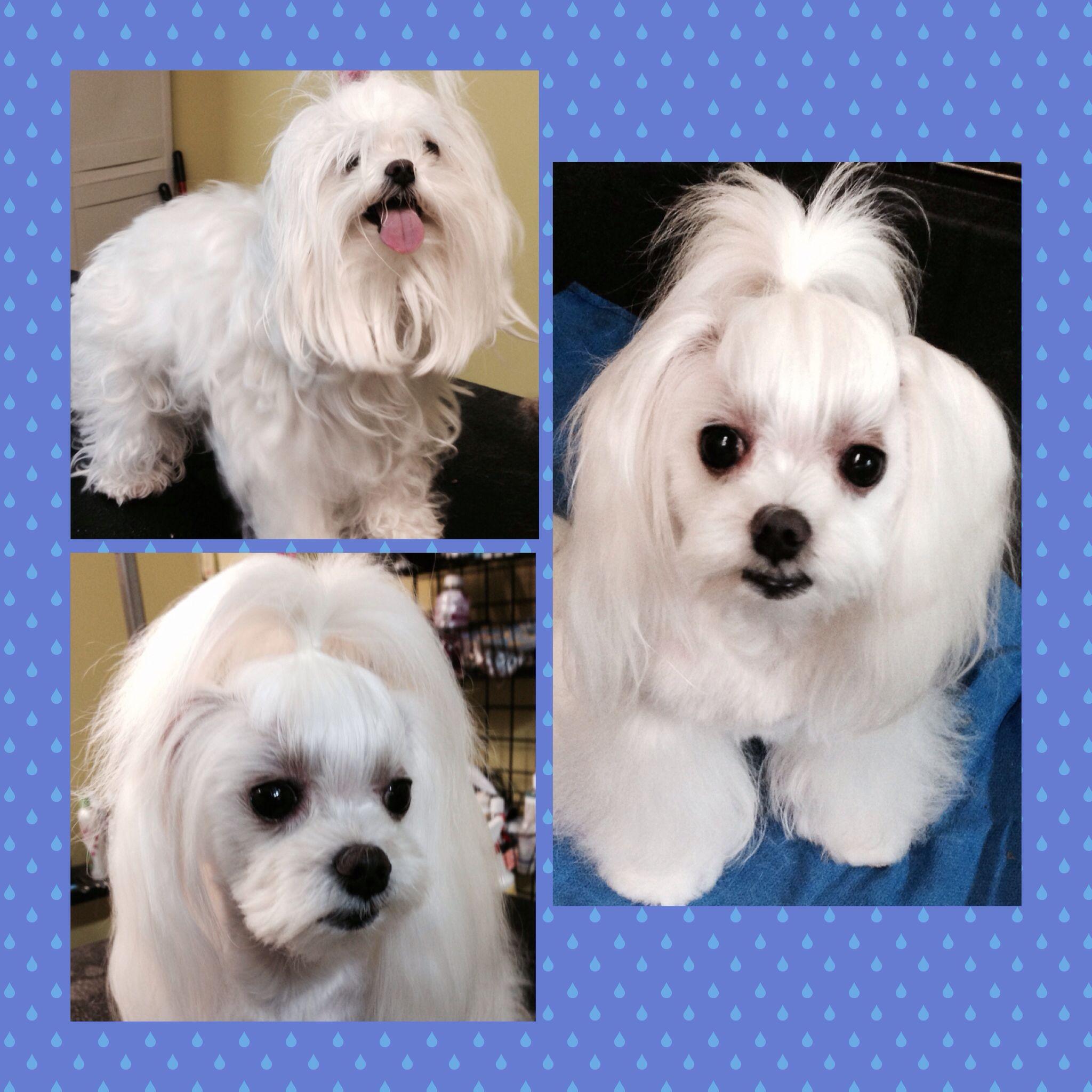 Creative grooming creative grooming maltese puppy dog