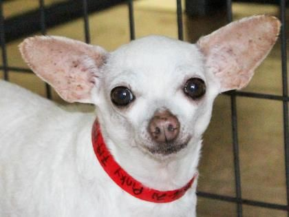 Petango Com Meet Pinkie A 4 Years 2 Months Chihuahua Short Coat Available For Adoption In Colorado Springs Co Pets Chihuahua Dogs