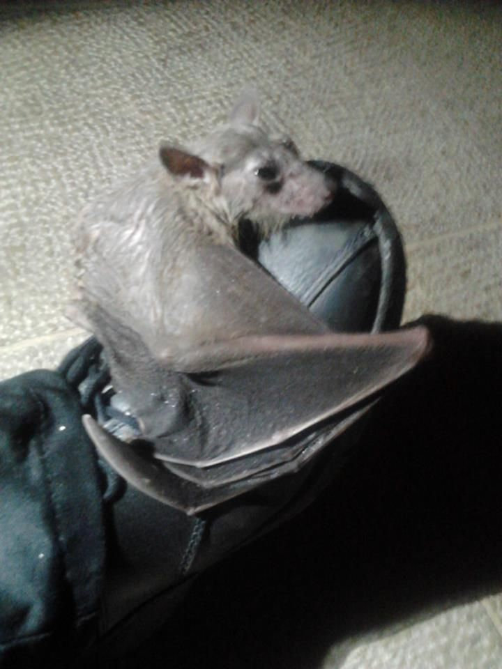 Batty broke her wing and wouldn't let go of my colleague's boot (story in comments) http://ift.tt/2s6q6qM