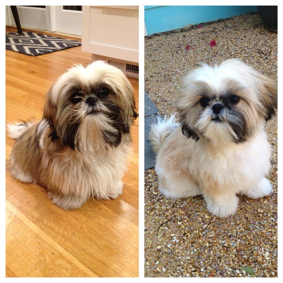 Before After Dog Grooming Shih Tzu Grooming Dog Grooming Styles