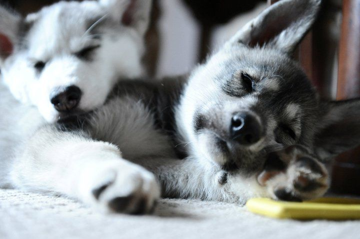 Puppy Love. Huskies by nature are pack animals who thrive on company, both canine and human.