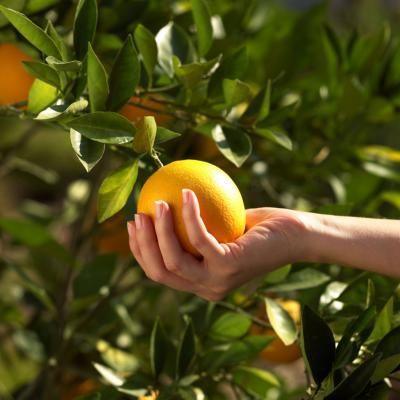 How To Naturally Fertilize A Citrus Tree Citrus Trees Tree Care Citrus