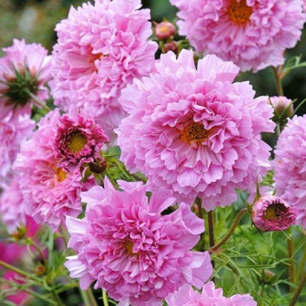 Schmuckkorbchen Double Click Rose Bourbon Staudengarten Shop Bornhoved Kosmos Blumen Cosmea Einjahrige Blumen