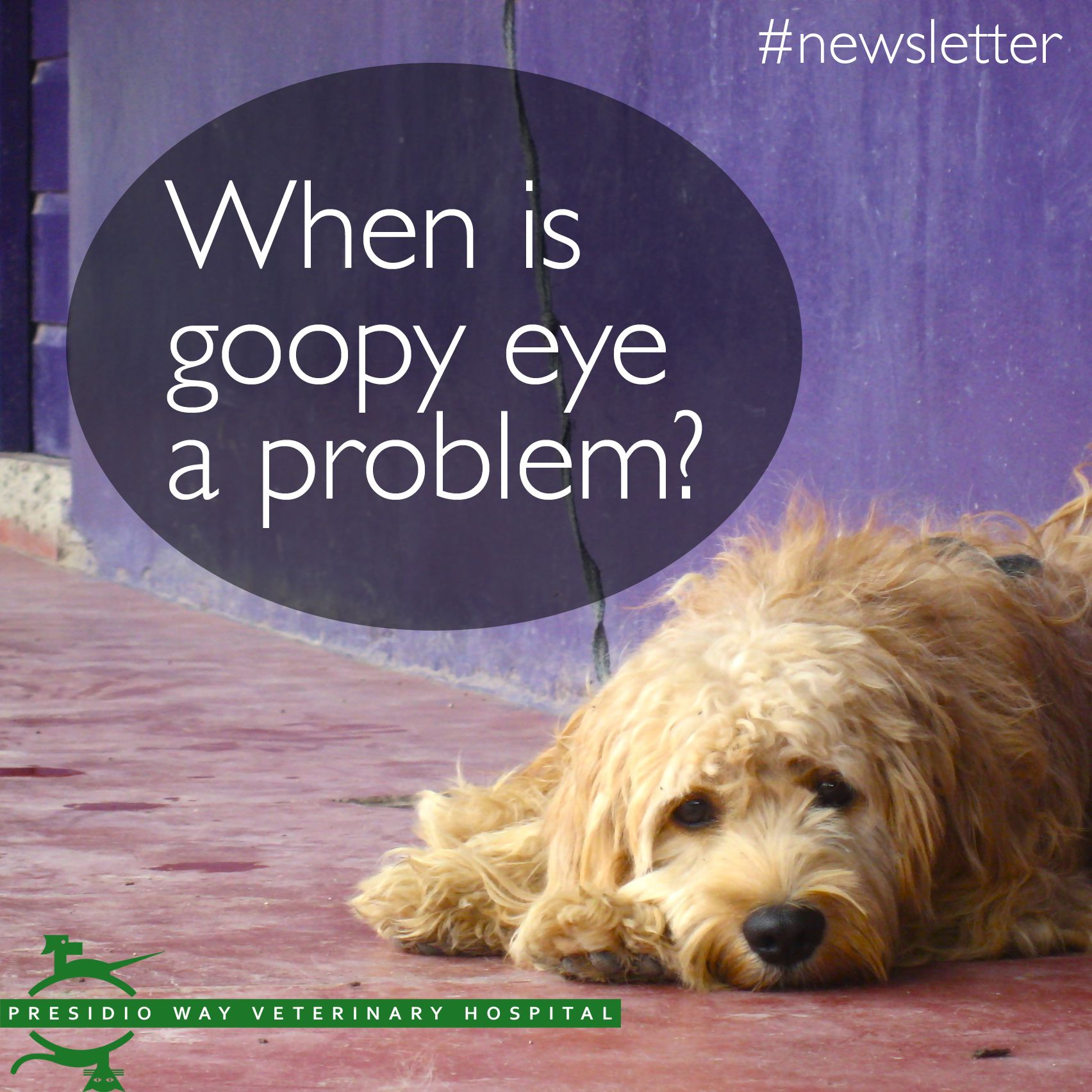 When Is Goopy Eye A Problem Many Dogs Have Thick Eye Discharge Sometimes It Is Just In The Morning Sometimes It Has To Do With Goopy Eyes Dog Eyes Dry Eyes