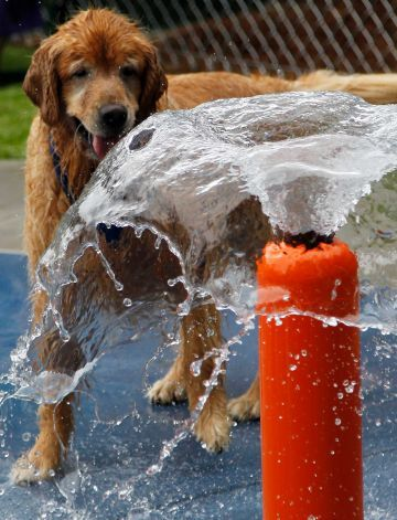 Bandit plays in one of the many new fountains at the new Alabama Dream Dog Park in Alabaster, Ala., Thursday, July 12, 2012. The $500,000 renovation creates a dog park with many unique features that include:  custom-designed water splash pads to keep dogs cool during hot Alabama summers; a fetch football field with fire hydrant goal posts; a hill that dogs and owners can climb together to enjoy the view; a doggie wash station; and an adventure path with tunnels and agility hoops, among…
