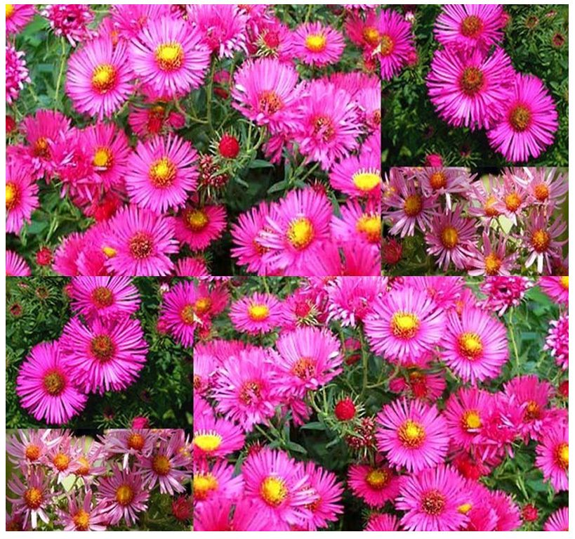 Pink New England Aster Seeds Aster Novae Angliae Seed Perennial Blooms Zone 3 9 Aster Flower Fall Blooming Flowers Perennials