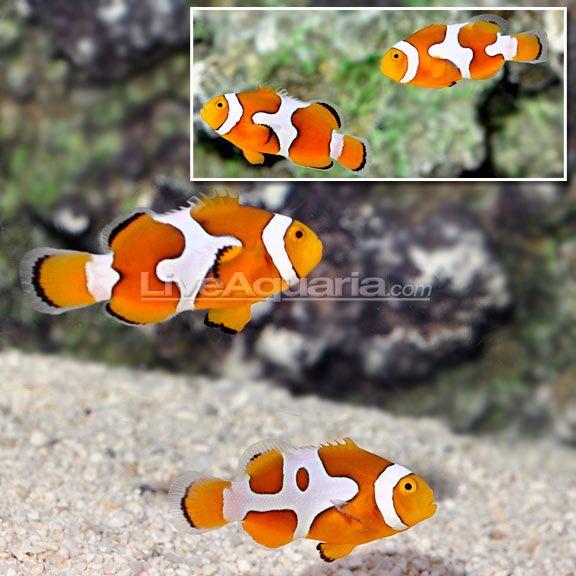 Ora Picasso Percula Clownfish Pair Watercolor Animals Clown Fish Fish Pet