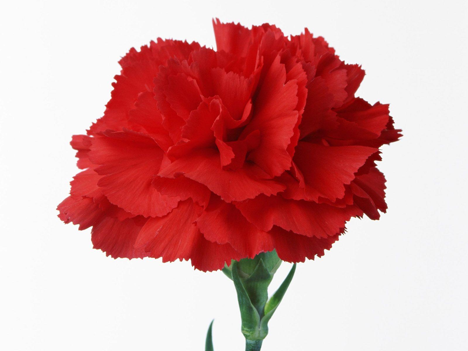 Carnation Red Carnation Carnations Carnation Flower