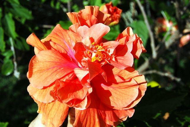 Triple purple hibiscus | Hibiscus, Flores |Triple Hibiscus