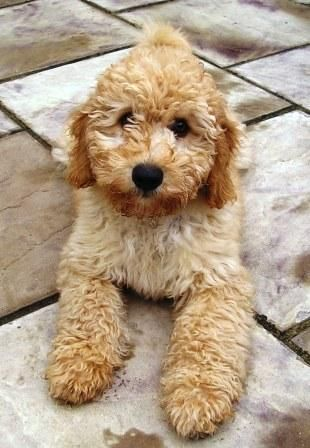 Pin By Morgan Shibles On Animals Labradoodle Puppy Labradoodle Puppy Snuggles