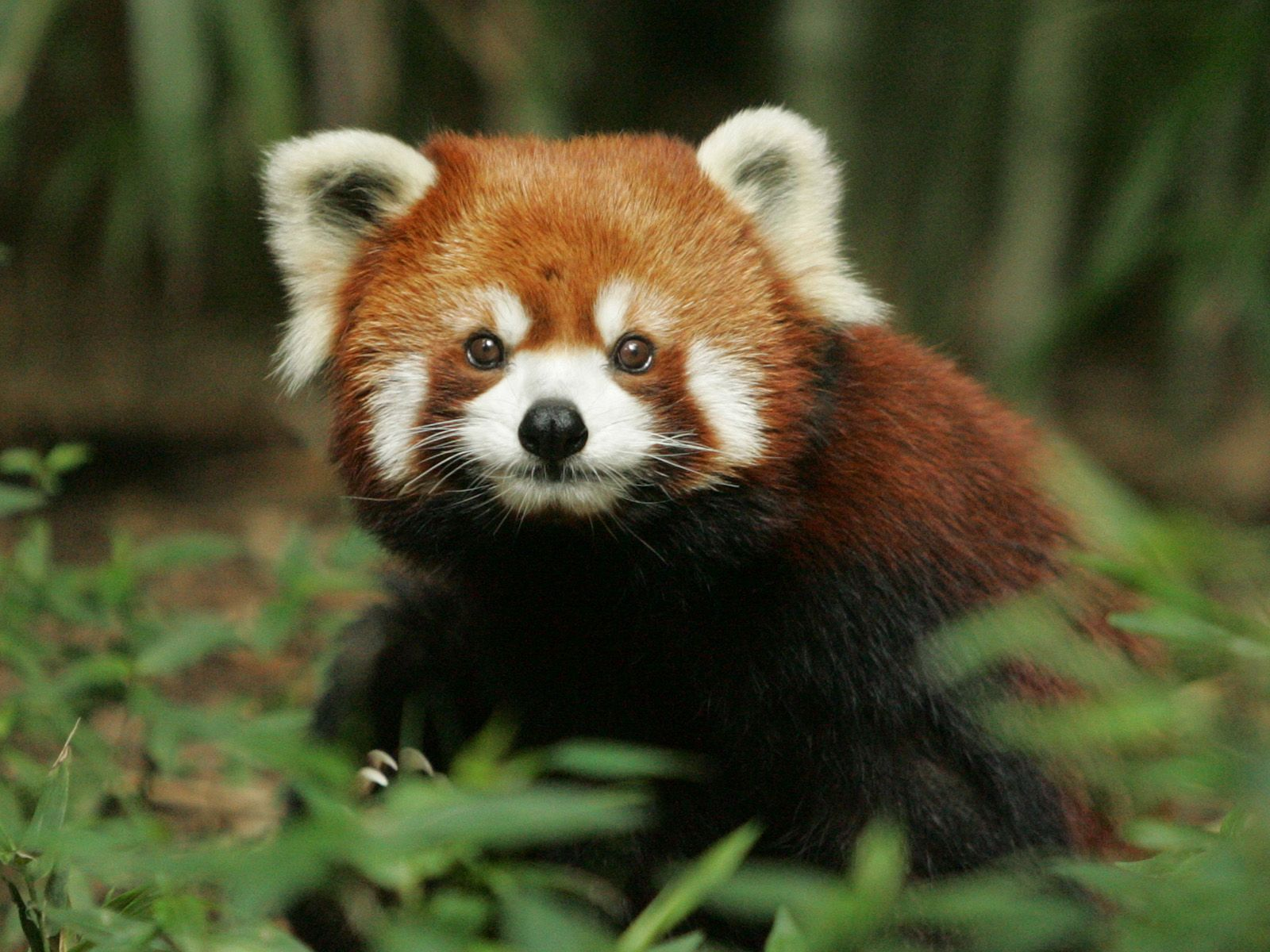 Red Panda Wallpapers Wallpaper Kleiner Panda Tiere Pandas