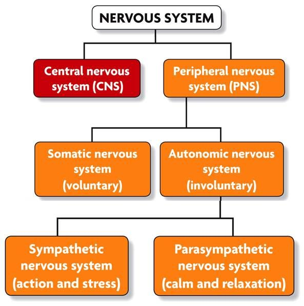 Somatic autonomic nervous system somatic voluntary motor somatic autonomic nervous system somatic voluntary motor movements or muscles vs ccuart Choice Image