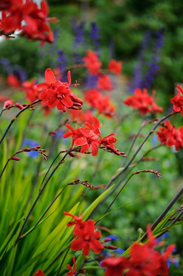 The Source Where To Find The Next It Plants Crocosmia Gardens