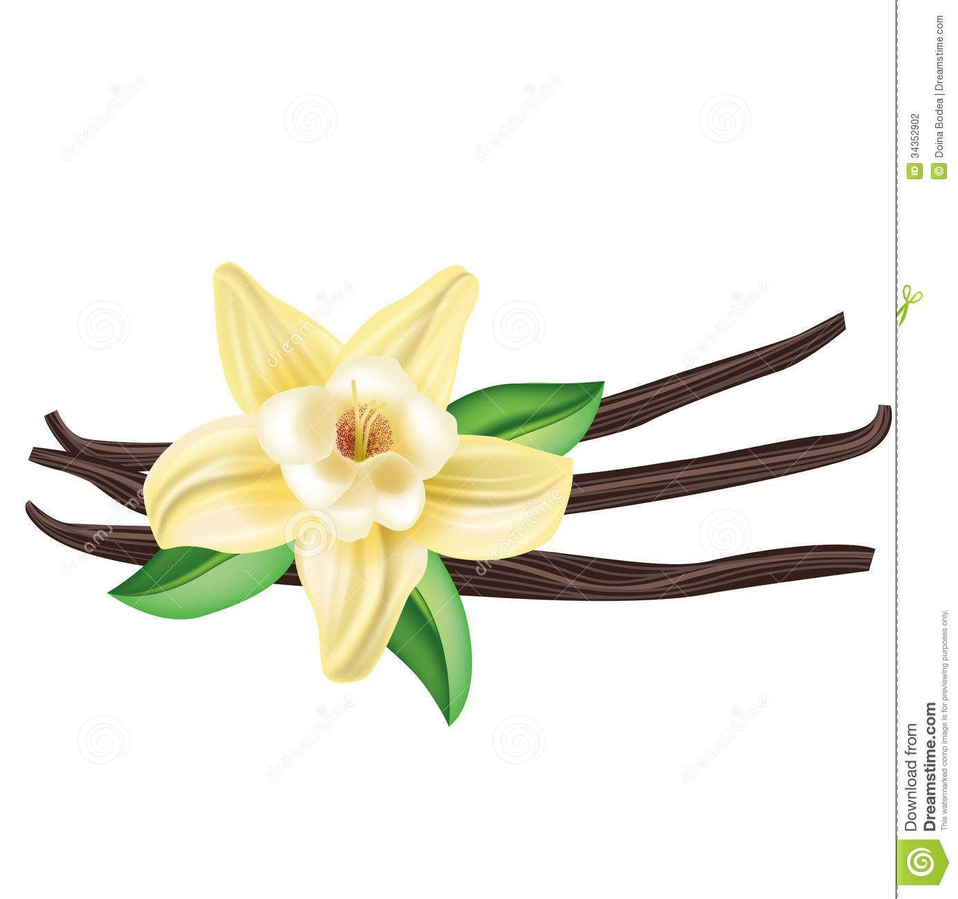 Vanilla Clipart Vanilla Flower Drawing Vanilla Bean Flower Flower Drawing Flowers Vanilla