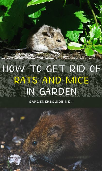 How To Get Rid Of Rats And Mice In Garden in 2020 ...