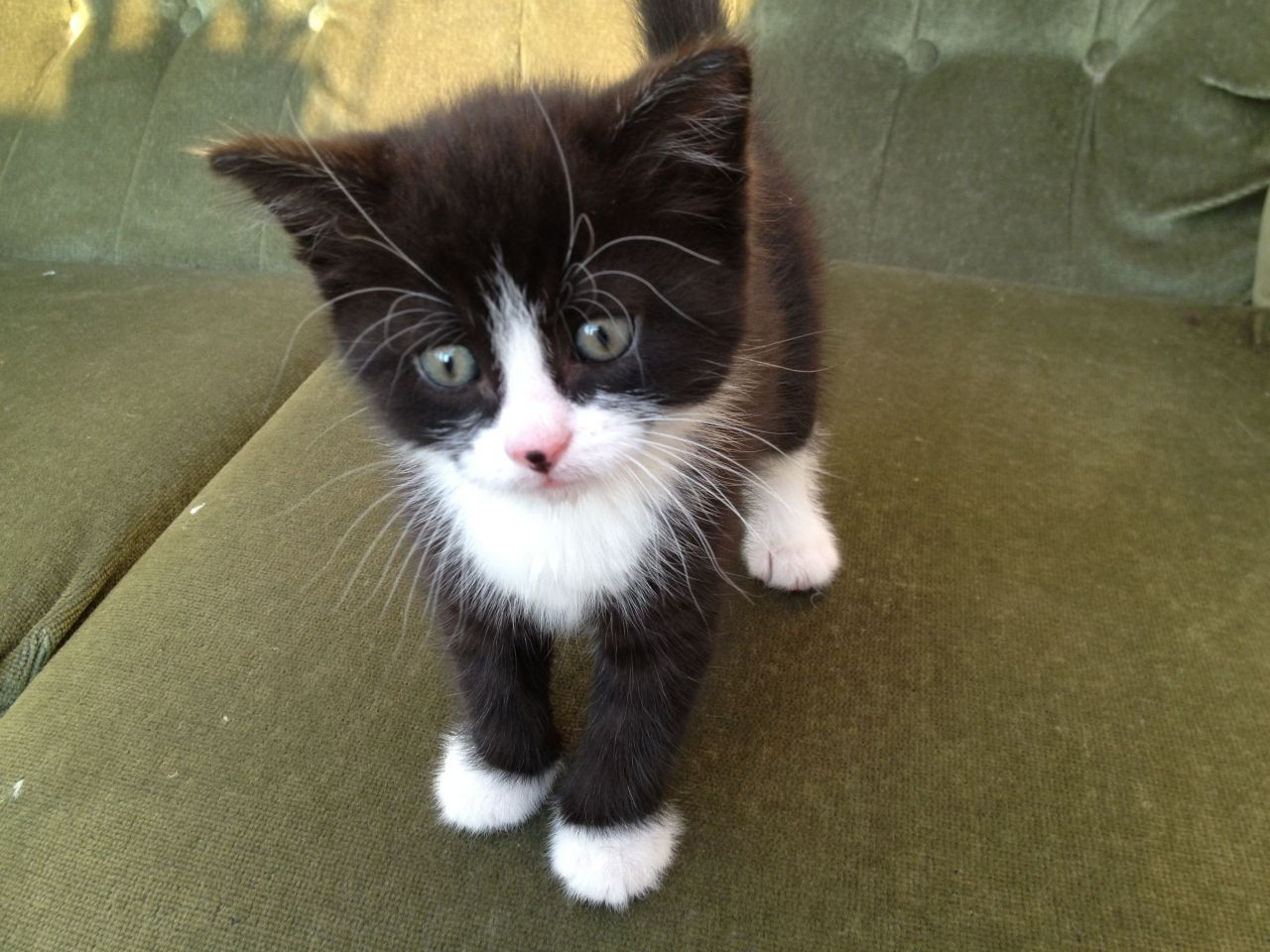 Playful Fluffy Black White Kitten For Sale Norwich Norfolk