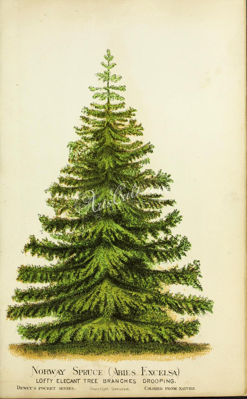 Plants 00881 Norway Spruce Abies Excelsa Vintage Printable Etsy In 2020 Norway Spruce Pictures Images Etsy Printables