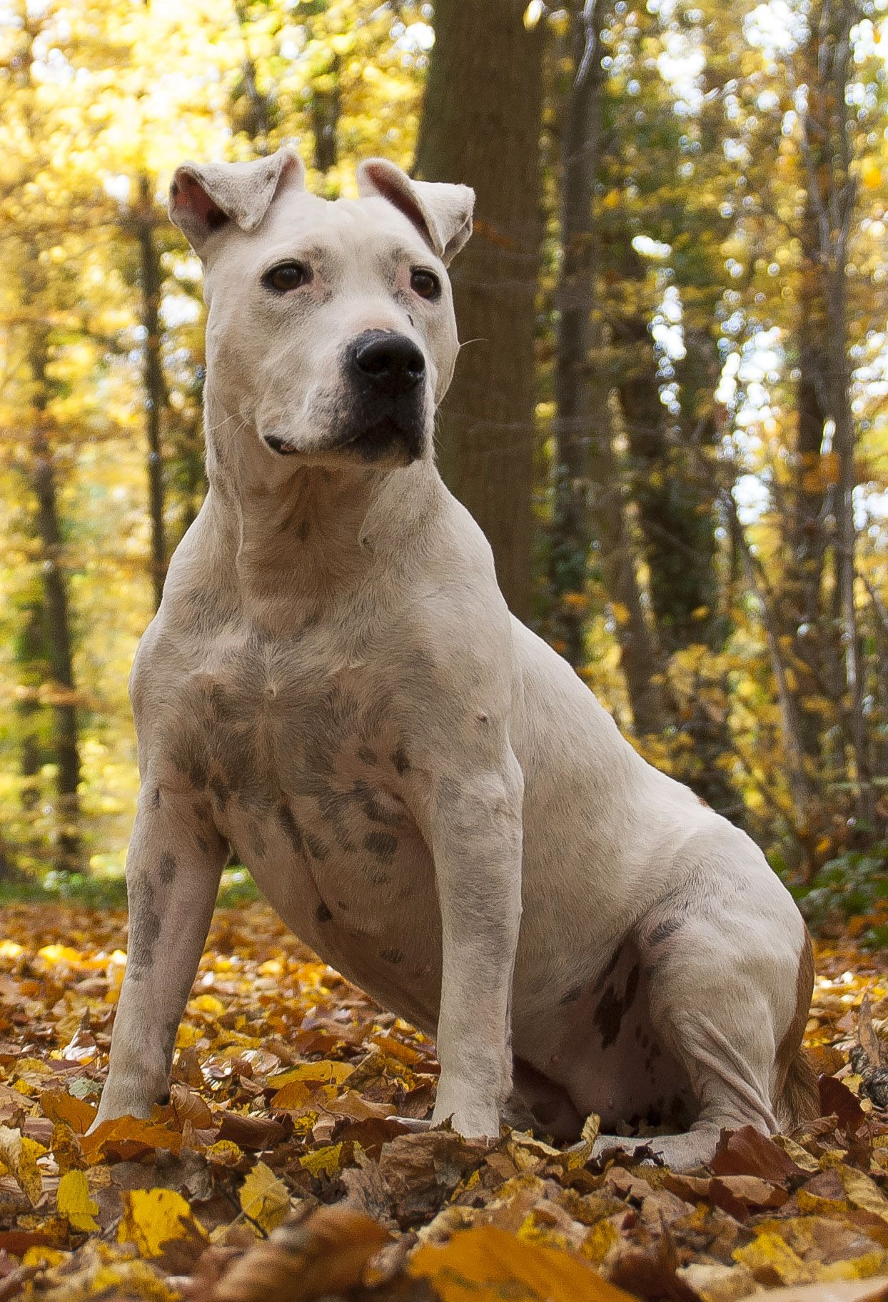 American Staffordshire Terrier Pit Bull American