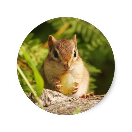 Baby Chipmunk with snack Classic Round Sticker | Zazzle.com
