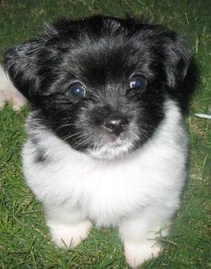Ewokian Havanese Pomeranian Hybrid Puppy Hybrid Dogs Dog Breeds Dogs