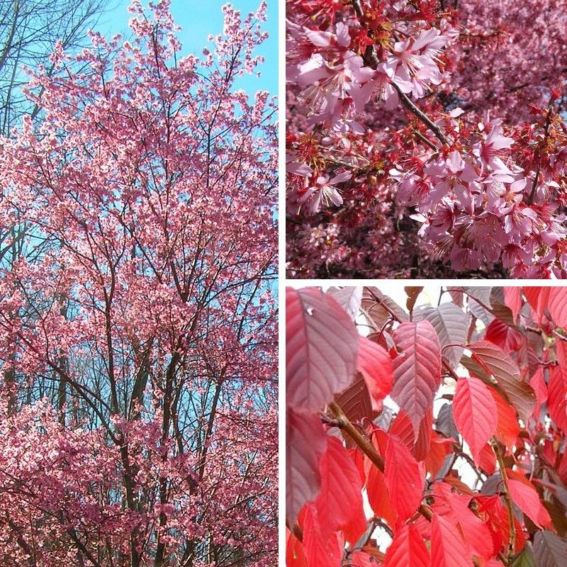 prunus 'okame' | okame cherry | bäume gehölze | pinterest | fleurs