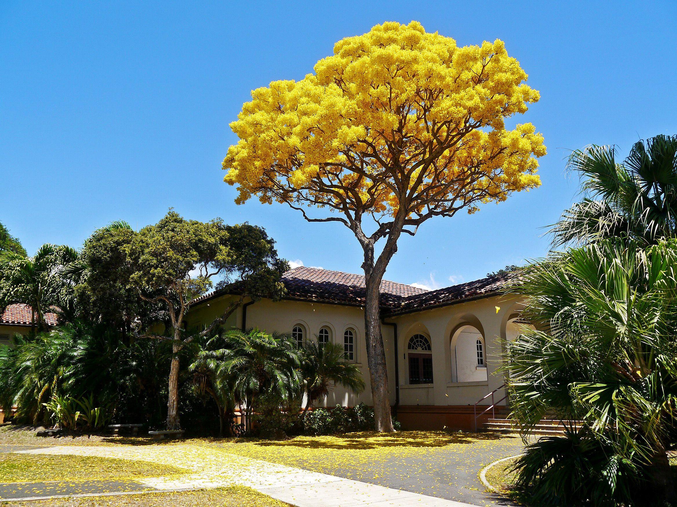 gold tree bignoniaceae family